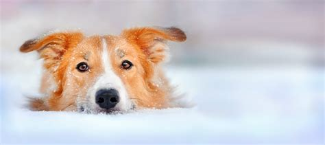 hypothermia in dogs hypothermia in dogs look dogs