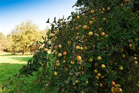 Pdf Holistic Orchard Fruits Berries Biological by Apple Tree With Fruit In The Orchard Stock Photo Colourbox