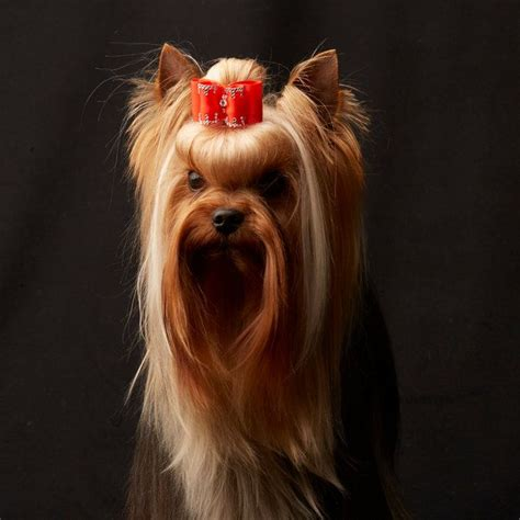 show yorkie best 25 westminster show ideas on