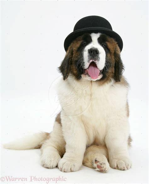 how much are st bernard puppies top 25 best st bernards ideas on st bernard dogs bernards and baby