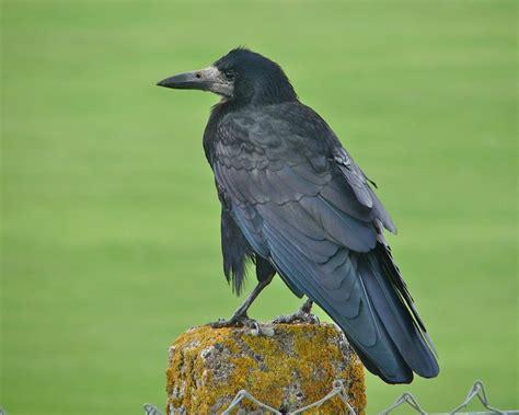 Light Skinned Face Rook New Zealand Birds Online