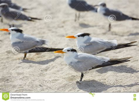 royal terns and sandwich tern cumberland is ga stock