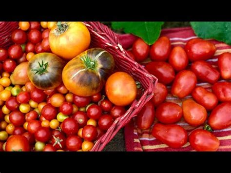 tips  grow lots  tomatoes determinate