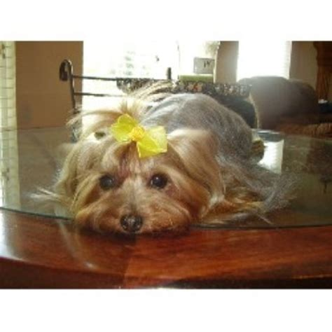yorkie rescue kansas terrier yorkie breeders in tennessee freedoglistings breeds picture