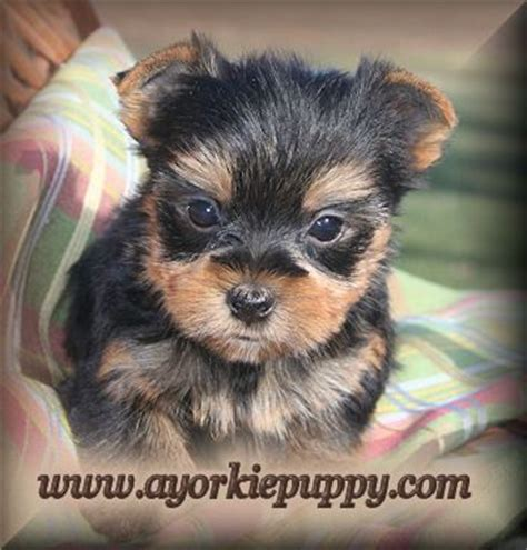 how to a yorkie puppy to potty terrier puppies yorkie dogs and how to potty on