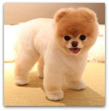 teddy pomeranian breeder teddy puppies for sale description of each breed price