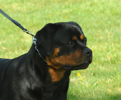 gamegards rottweilers through the years