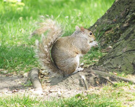 scoiattolo alimentazione scoiattolo mangia una noce immagine stock immagine