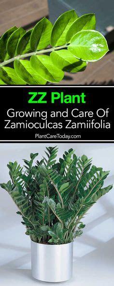 propagating zz plant zamioculcas zamiifolia leaf