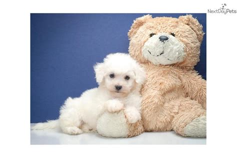 bichon frise puppies for sale ohio bichon frise puppy for sale near columbus ohio 576beb77 c821