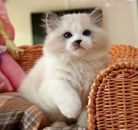 rag doll livin in a 117 best images about persians himalayan rag doll