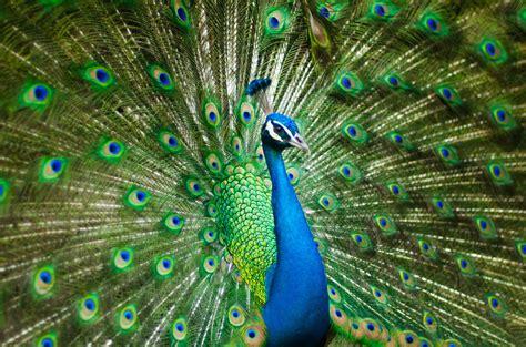 wallpaper peacock peafowl hd  animals