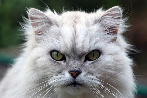 persiani chinchilla gatto persiano chinchilla caratteristiche prezzo