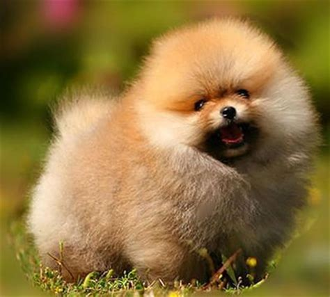 find a pomeranian puppy best 25 pomeranian dogs ideas on pomeranian puppy baby pomeranian and
