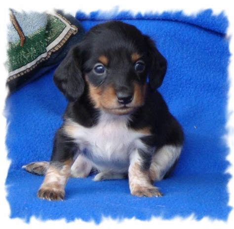 dachshund puppies kansas mini dachshund puppies kansas city mo 4k wallpapers