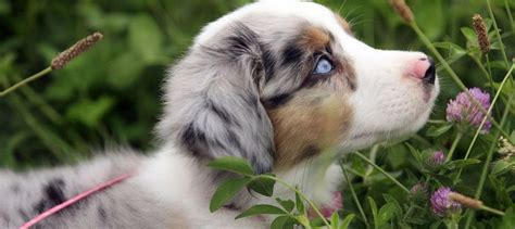 puppies for sale in marquette mi 17 best ideas about aussie puppies for sale on mini aussie for sale