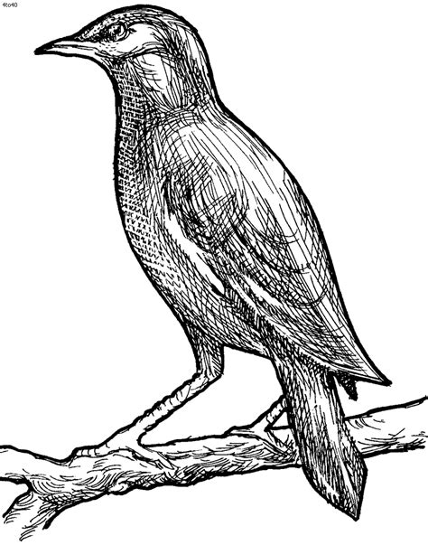 mynah bird coloring page mynah coloring page kids portal for parents mynah bird