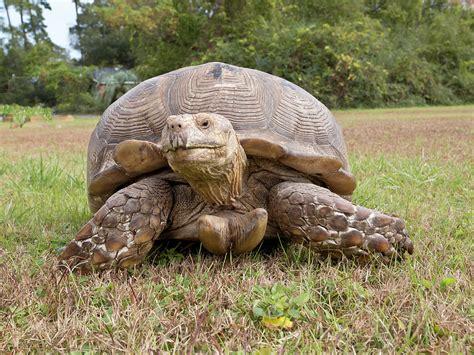 big boss turtle photograph by mike covington