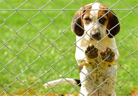 foxhound puppies for sale foxhound puppies for sale akc puppyfinder