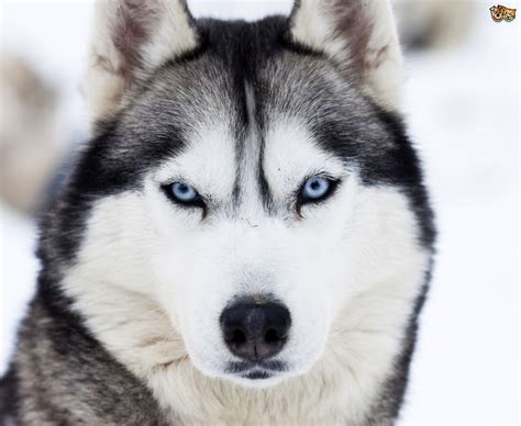 dogs like huskies siberian husky colours and commonly confused breeds pets4homes