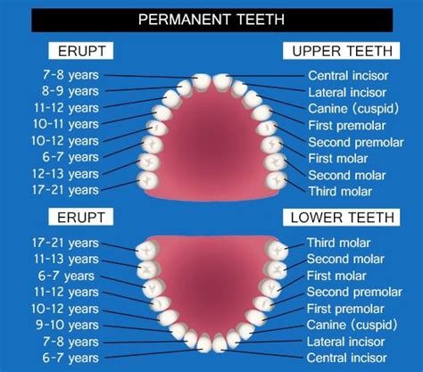 permanent teeth diagram illustration 282 best images about diagramatically speaking on