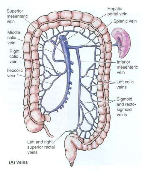 Vein And Artery Detox by Inferior Mesenteric Vein Anatomy