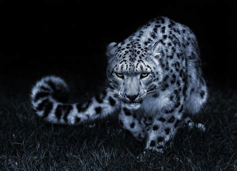 wallpaper mac leopard hd snow leopard wallpapers wallpaper cave