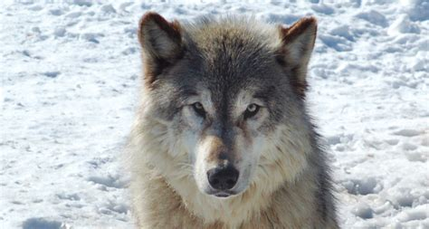 are dogs descended from wolves year in review canine genealogy science news