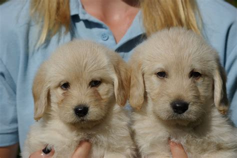 golden labradoodle puppy gorgeous apricot golden labradoodle puppies radstock somerset pets4homes