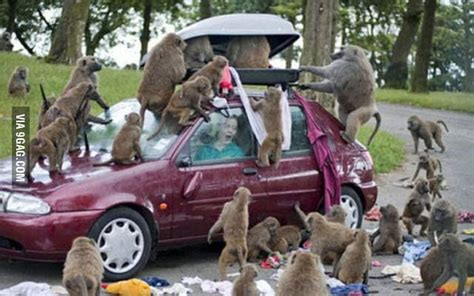 baboons attack cape of baboons attack in cape town south africa 9gag
