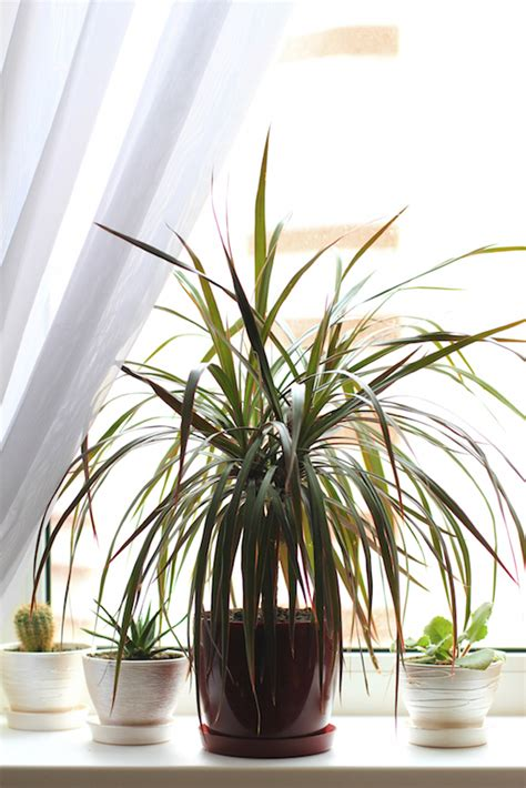 inside urban green low light low maintenance dracaena bowl 16 nasa approved plants to improve your air quality