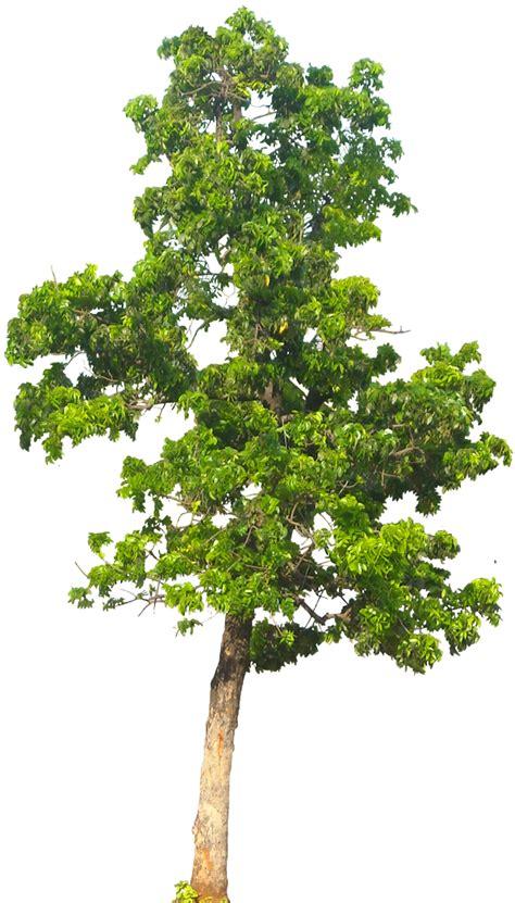 tropical plant pictures swietenia mahagoni macrophylla