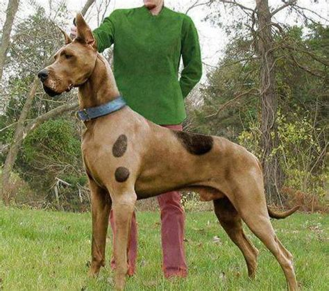 real puppies the real scooby doo p great dane dogs picture