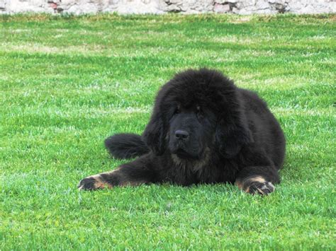 tibetan mastiff puppy for sale tibetan mastiff for sale