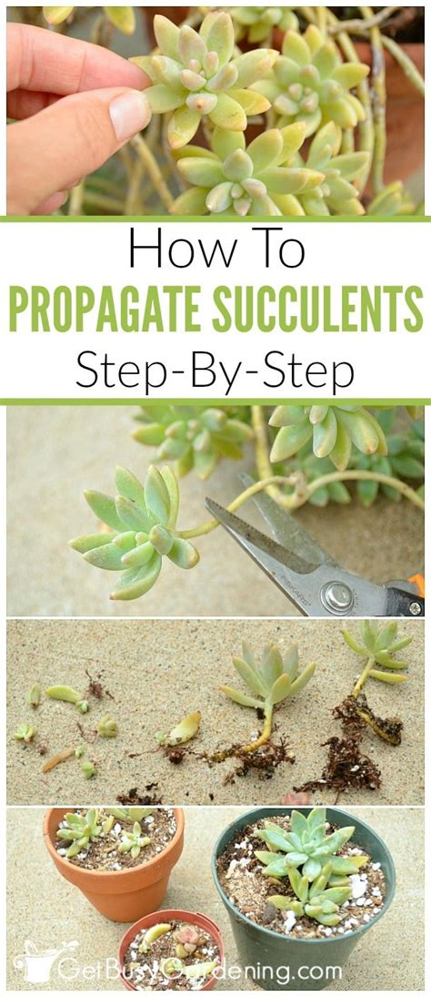 How To Propagate Succulent Leaf Cuttings With Near - 25 b 228 sta propagating succulents id 233 erna p 229