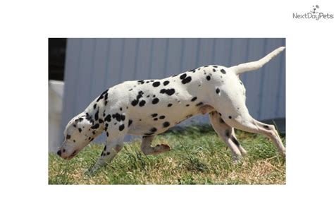 dalmatian puppies for sale michigan dottie akc dalmatian puppy for sale near grand rapids michigan fccfb838 ae21
