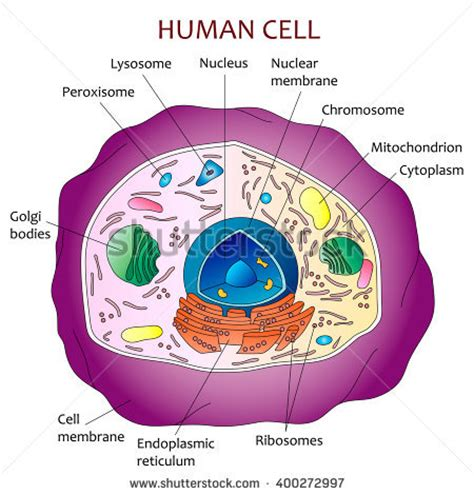 human cell labeled diagram ribosomes stock photos images pictures