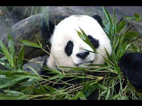 imagenes animales hermosos animales hermosos en peligro de extincion youtube