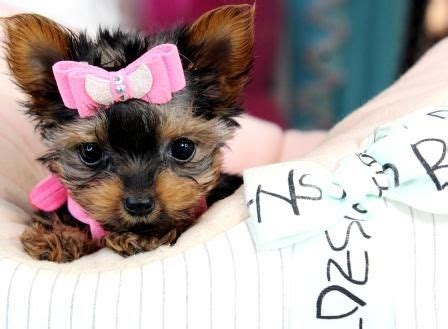 cheap yorkie dogs for sale 17 best ideas about teacup yorkie on yorkie terriers and yorkie