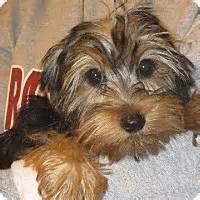yorkie rochester ny rochester ny yorkie terrier meet honey bea a puppy for adoption