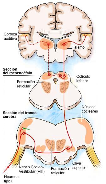 imagenes sensoriales sonoras cerebro auditivo cochlea