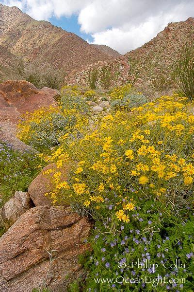 cadab 116 desert wildflowers verbena and primrose in spotlight the o jays and landscapes on pinterest