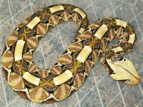 Design Pattern Viper | this photo was uploaded by jonnycichla snakes