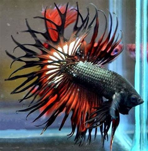 king bett king crowntail search bettas