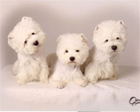 westie puppies for sale in florida puppies for sale west highland white terriers westies in florida