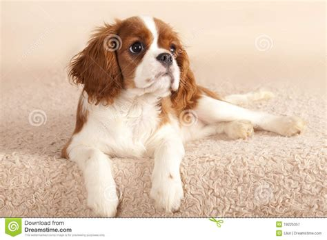 free king charles cavalier puppies cavalier king charles spaniel puppy royalty free stock photography image 19225357