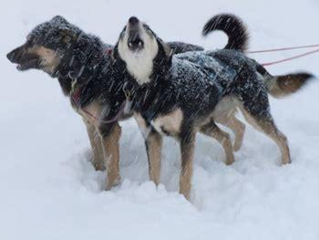 sledding fairbanks fairbanks alaska in winter gonomad travel