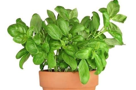 vaso basilico coltivazione basilico aromatiche come coltivare il