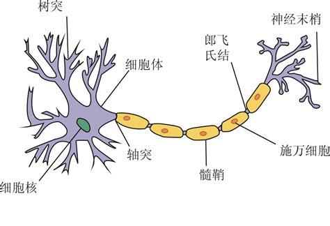 simple neuron diagram file neuron png wikimedia commons