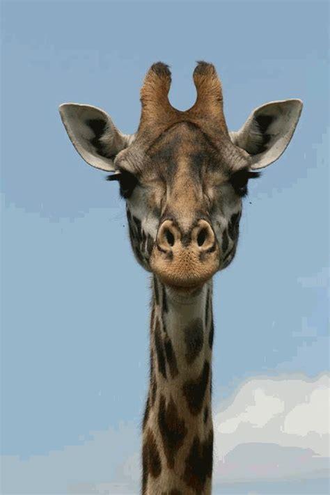google images giraffe animated giraffe gif google search elizabeth s board